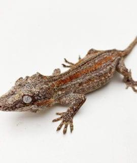 Female Orange Stripe Gargoyle Gecko Proven Breeder 32g