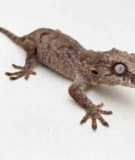 Female Orange Blotch Gargoyle Gecko Proven Breeder 41g