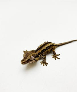 Super Stripe Gargoyle Gecko CB20
