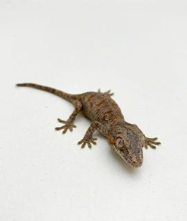 Orange Blotch Gargoyle Gecko CB20