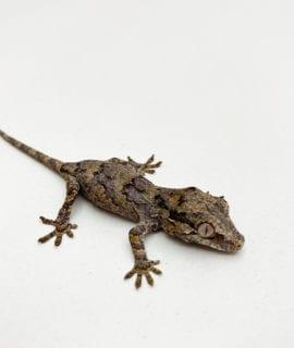 Reticulated Gargoyle Gecko CB20