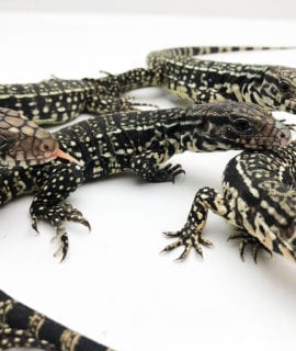 Black and White Tegu CF20