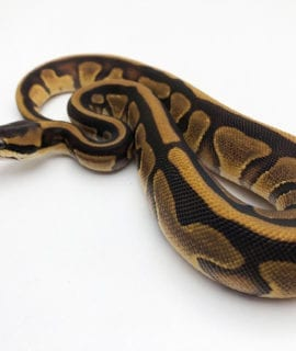 Female Leopard Sugar Royal Python CB20