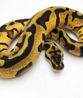 Female Leopard Enchi Yellowbelly Royal Python CB20