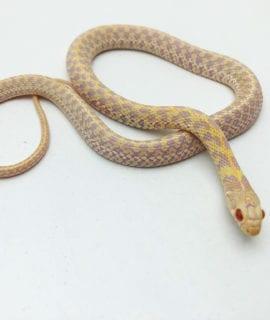 Albino Garter Snake CB20
