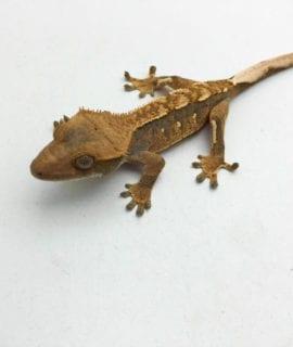 Pinstripe Crested Gecko CB20