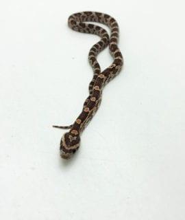 Hypo Corn Snake CB20