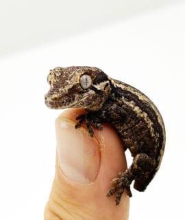 Gargoyle Gecko Dropped Tail CB20