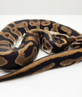 Breeder Male Leopard het Lavender Albino Royal Python CB17