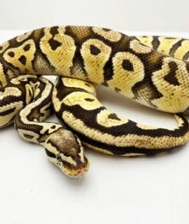 Breeder Male Firefly het Clown Royal Python CB16