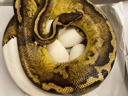 Breeding Projects – Royal Pythons