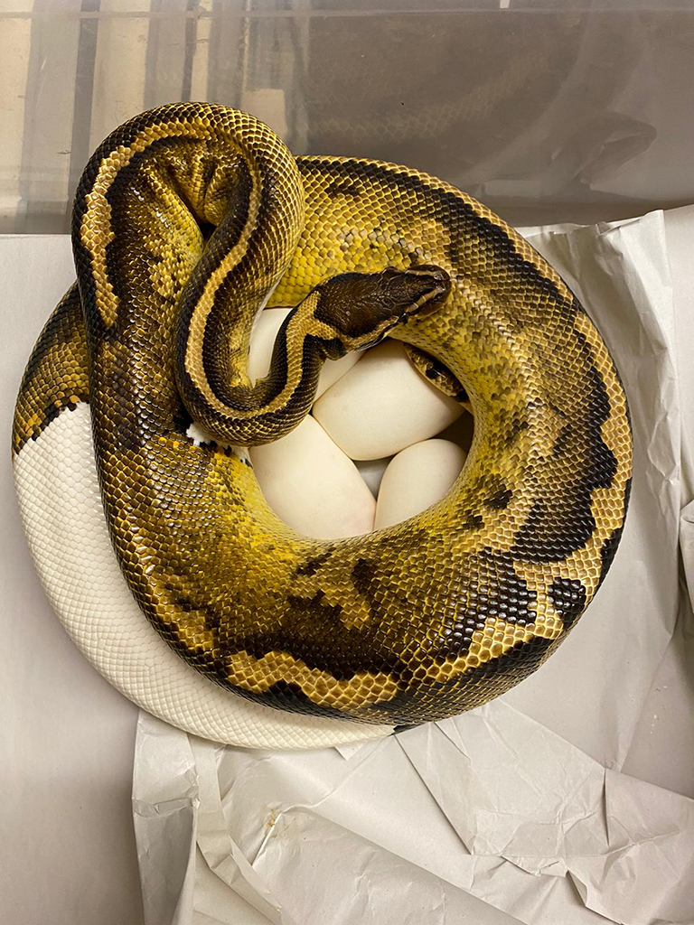 Pastel Clown Female Royal Python sat on eggs