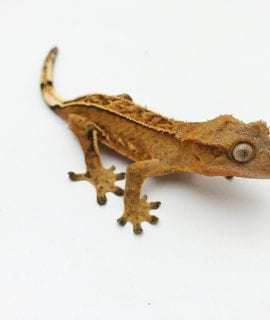 Male Pinstripe Harlequin Sub Adult Crested Gecko