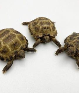 Horsefield Tortoise CB19