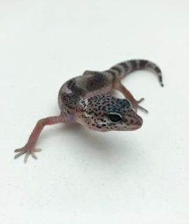 Hypo Jungle Mack Snow Leopard Gecko CB20
