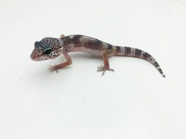 Hypo Jungle Mack Snow Leopard Gecko CB20