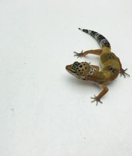 Hypo Leopard Gecko CB20