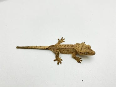 Pinstripe Crested Gecko CB20