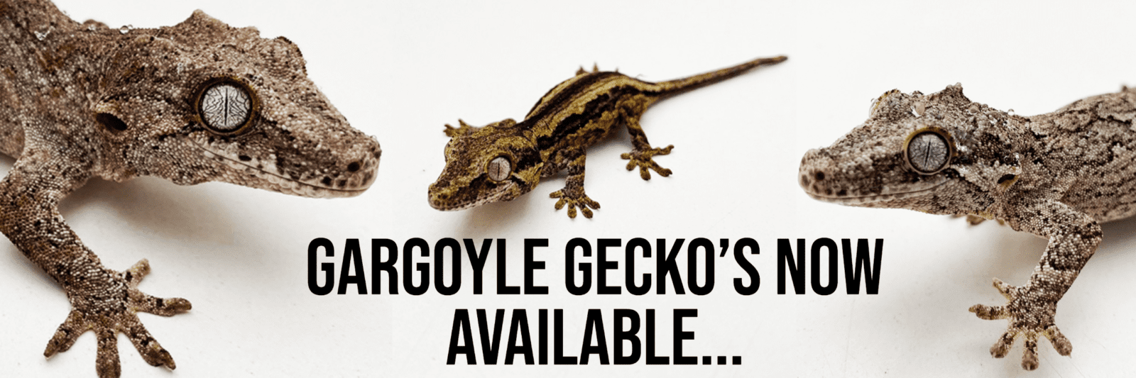 https://blackpoolreptiles.co.uk/product-category/live/lizards/geckos/gargoyle-geckos/