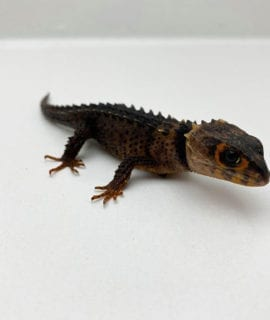 Female Red Eyed Crocodile Skink CF20