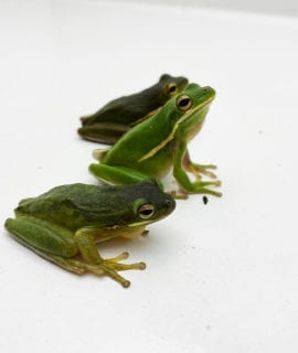 American Green Tree Frog CF 5cm