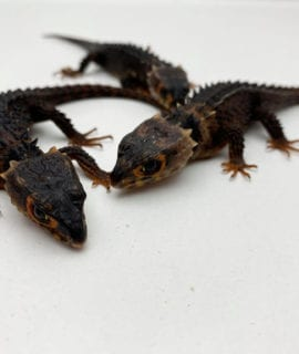 Male Red Eyed Crocodile Skink CF20