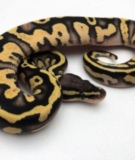 Female Firefly het Pied Royal Python CB20