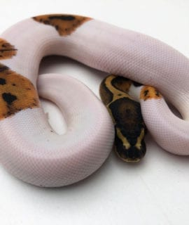 Male Fire Pied Royal Python CB20