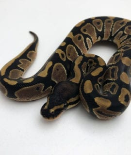 Female Classic het Pied Royal Python CB20