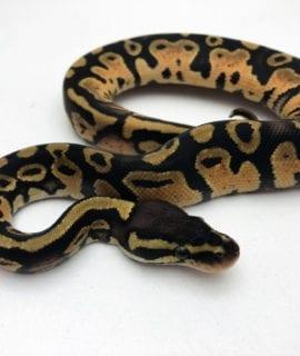 Male Pastel het Pied Royal Python CB20