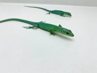 Male and Female Pair Green Keel Bellied Lizards CB19