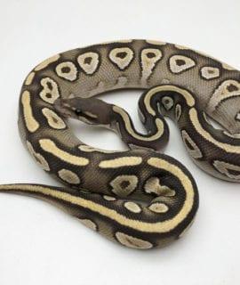 Male Ghost Mojave het Stripe Royal Python CB19