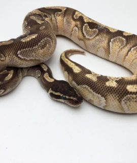 Male Mojave Enchi Yellow Belly Royal Python CB19