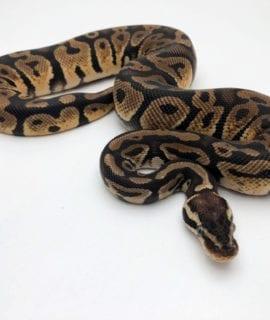 Male Pastel Royal Python CB19