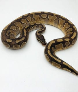 Male Enchi Spark Royal Python CB19