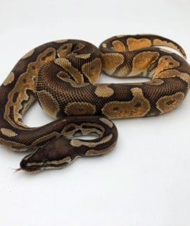 Male Black Pastel Enchi Fire/Vanilla Royal Python CB19