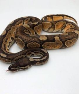 Male Black Pastel Enchi Fire/Vanilla Royal Python CB19