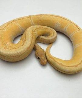 Male Banana Enchi Pinstripe Royal Python CB19
