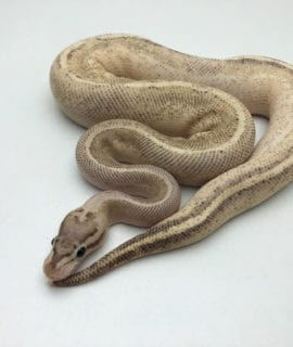 Male Puma Royal Python CB19