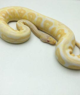 Male Albino Black Pastel Pewter Royal Python CB19