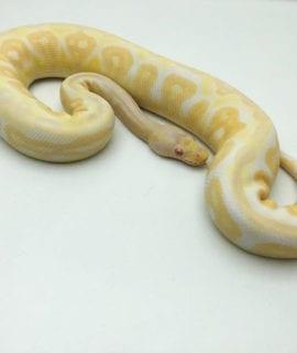 Male Albino Black Pastel Pewter Royal Python CB19