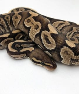 Male Phantom Spark Royal Python CB19