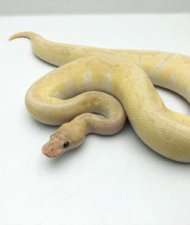 Male Banana Lesser Pastel Enchi Royal Python CB19