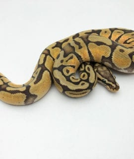 Male Ghost Pastel Enchi Royal Python CB19