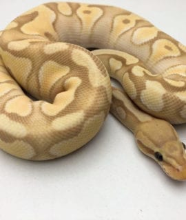 Male Banana Pastel Enchi Mojave Royal Python CB19