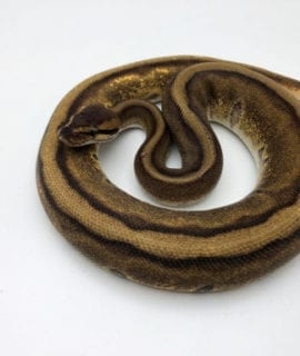 Male Enchi Stripe Royal Python CB19