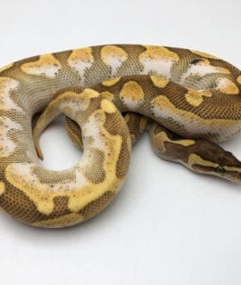 Male Enchi Lesser Calico Royal Python CB19