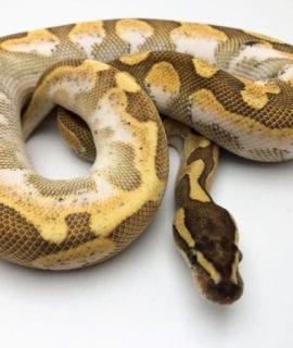 Male Enchi Lesser Calico Royal Python CB19