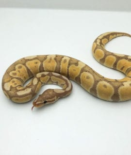 Male Banana poss Yellow Belly Royal Python CB19