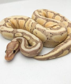 Male Banana Spark Royal Python CB19